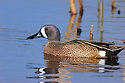 00315-058.15 Blue-winged Teal Duck (DIGITAL) drake is in marsh, wetland, swamp, pond, pothole, typical of species.  Hunt, waterfowl.  H7L1