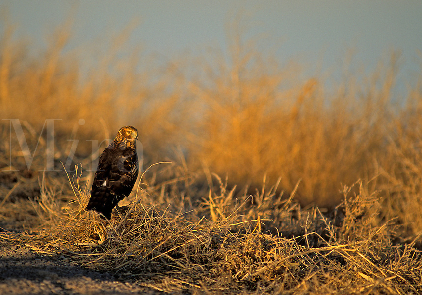 Norhtern Harrier (Circus cyaneus), adult female, resting on the ground