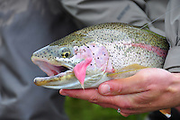 A rainbow trout that fell for a flesh fly on Alaska's American Creek.