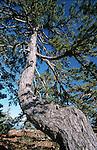 Balck pine  the western Troodos hinterland.