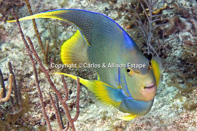 Holacanthus bermudensis, Blue angelfish, Florida Keys