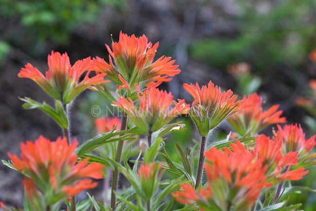 Indian Paintbrush wildflower in western Montana