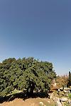 Judea, Kermes Oak tree (Quercus Caliprinos) in Ein Kinia
