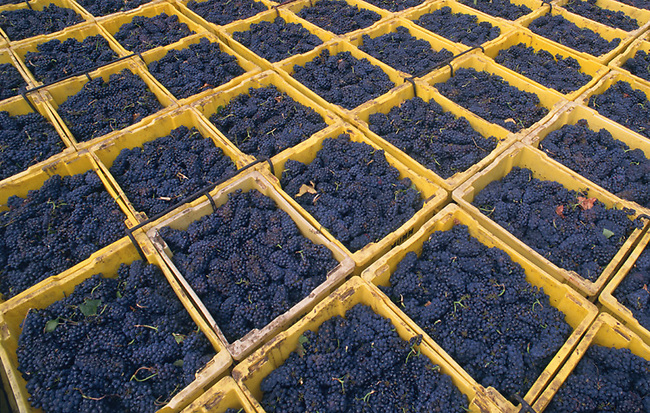 Pinot Noir grapes wait for crushing