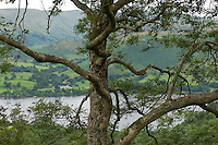 Ullswater, the second largest of the many lakes in England's Lake District, is thought by many to be the most beautiful, largely because of its serpentine shape and the intensely green slopes which drop to the water's edge.