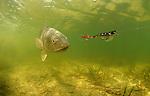 Redfish, Red drum