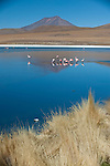 Andean Flamencos (Phoenicopterus andinus) at Cañapa lake, Chiguana area, Salar de Uyuni