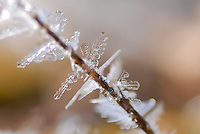 Hoar Frost crystals on twig.
