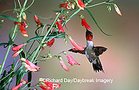 01162-094.11 Ruby-throated Hummingbird (Archilochus colubris) male at Prairie Fire Penstemon (Penstemon barbatus) Shelby Co. IL