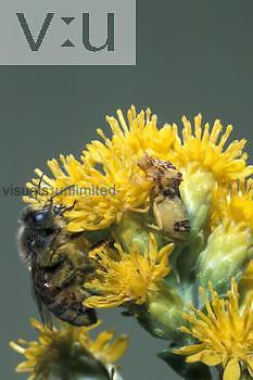 Ambush Bug ,Phymata, on a flower waiting to attack a Honeybee ,Apis mellifera,.