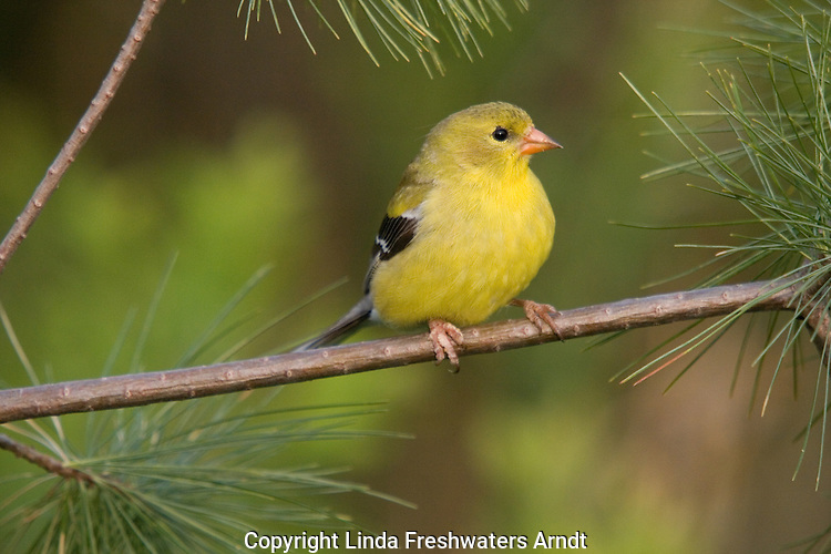 Female American goldfinch (Carduelis tristis) perched in a pine tree