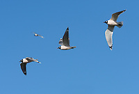 Franklin's Gull (Leucophaeus pipixcan), flock in flight, South Padre Island, Texas, USA