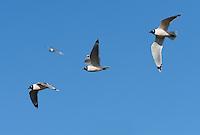 Franklin's Gull (Leucophaeus pipixcan), flock in flight, South Padre Island, Texas, USA