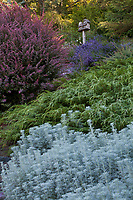Artemisia ludoviciana ssp.candicans (White Sagebrush) in foreground with Microbiota decussata (Siberian Carpet Cypress) and Berberis thunbergii 'Rose Glow' (Barberry) behind - Albers Vista Gardens