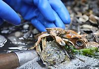 Schaufischfang wird auf dem Krabbenkutter demonstriert und das Meeresleben erklärt, hier ein Taschenkrebs - 16.08.2018: Fischfang und Rundfahrt von Neuharlingersiel