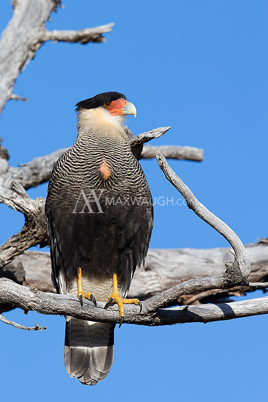 The largest of a few species of caracara found in Patagonia.