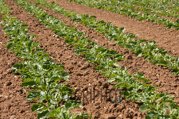 21.5.2020 Sugar beet in Lincolnshire <br /> ©Tim Scrivener Photographer 07850 303986<br />      ....Covering Agriculture In The UK....