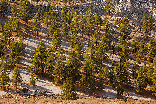 Jeffrey Pines (Pinus jeffreyi) growing in the sandy volcanic soil of the Mono Craters, south of Mono Lake, California, USA