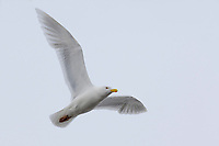 Adult Glaucous Gull (Larus hyperboreus) in breeding plumage in flight. Barrow, Alaska. June.