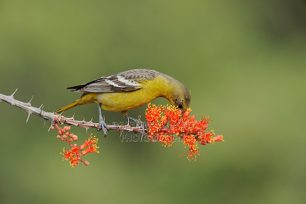 Scott's Oriole (Icterus parisorum), female feeding on blooming Ocotillo (Fouquieria splendens), Chisos Basin, Chisos Mountains, Big Bend National Park, Chihuahuan Desert, West Texas, USA