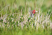 A Ring-necked Pheasant hides in grasses on the American Prairie Reserve south of Malta, Montana.