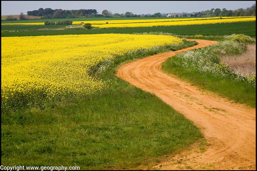 Yellow flowers of oil seed rape crop growing in field, Suffolk, England