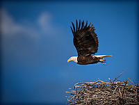 Bald Eagle in flight, flying from nest