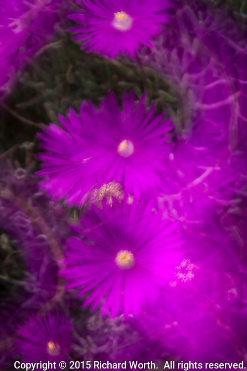 Purple flowers interpreted with a slow shutter speed and gentle camera motion.