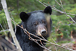 Black Bear feeding on new shoots in spring.