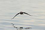 Neotropic Cormorant (Phalacrocorax brasilianus) flying, Ibera Provincial Reserve, Ibera Wetlands, Argentina