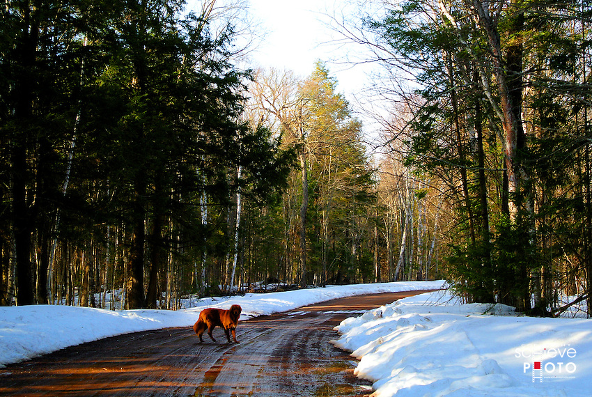 A golden retriever on a Chequamegon National Forest road.