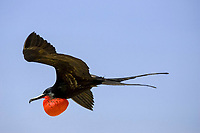 great frigatebird, Fregata minor, adult male with inflated, red gular pouch for courtship display, Genovesa Island, Galapagos Islands, Ecuador, Pacific Ocean