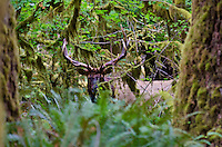 Roosevelt Elk Bull (Cervus canadensis roosevelti).  Temperate rainforest, Olympic Peninsula, WA.  Late Sept.