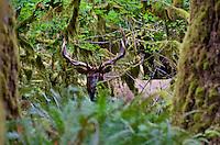 Roosevelt Elk Bull (Cervus canadensis roosevelti).  Temperate rainforest, Olympic Peninsula, WA.  Late Sept.