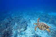 Green Sea Turtle, Chelonia mydas, swimming over coral reef, endangered species, off Kona Coast, Big Island, Hawaii, Pacific Ocean