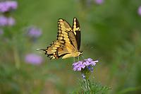 Giant Swallowtail (Papilio cresphontes), adult feeding on Prairie Verbena (Glandularia bipinnatifida), Hill Country, Texas, USA