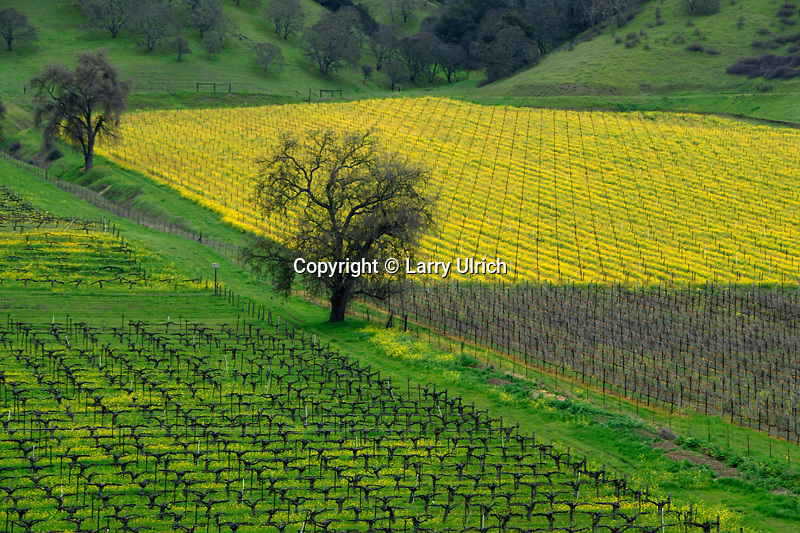Vineyayds, mustard and valley oak<br /> Lower Chiles Valley<br /> Napa County<br /> California