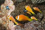 Nemo Thila, Maarehaa Island, Huvadhoo Atoll, Maldives; several Blackfinned Anemonefish (Amphiprion nigripes) swimming above a Magnificent Sea Anemone