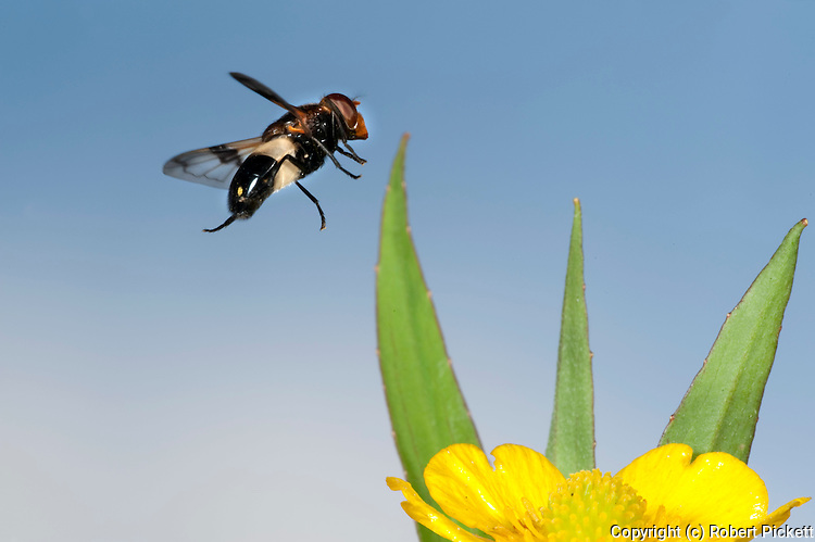 Hoverfly, Volucella pellucens, In flight, free flying, High Speed Photographic Technique.United Kingdom....