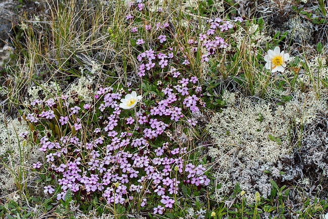 Moss Campion (Silene acaulis) and Mountain avens (Dryas octopetala) at Hofdi at Lake Myvatn in Northeast Iceland.