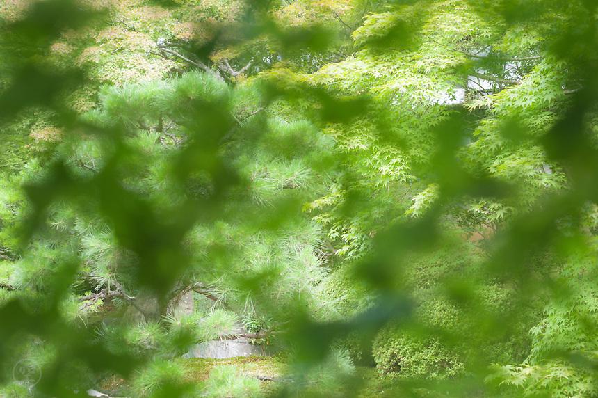 The karesansui garden at Tenju-an, Nanzenji Temple, seen through a screen of green momiji maple leaves.