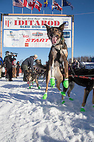 A Richie Diehl dog leaps as he waits to leave during the Re-Start of the 2016 Iditarod in Willow, Alaska.  March 06, 2016