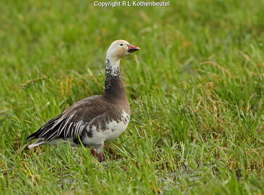 Blue morph snow goose<br />