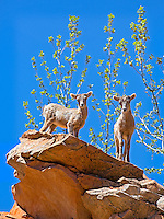 Two young spring lambs, desert bighorn sheep stand on a cliff in Zion National Park in Utah.