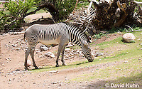 0608-1101  Grevy's Zebra (Imperial Zebra), Grazing on Grass, Equus grevyi  © David Kuhn/Dwight Kuhn Photography