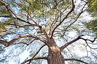 Spreading branches like multiple arms on Montezuma Cypress (Taxodium mucronatum) tree in Huntington Botanical Garden