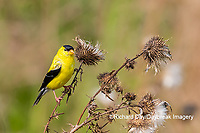 01640-16508 American Goldfinch (Spinus tristis) male eating seeds at thistle plant Marion Co. IL