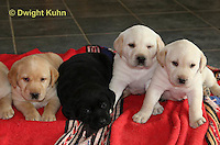 SH37-530z Lab Puppies - Genetic variation of black, yellow and white, 4 weeks old,  Labrador Retriever..
