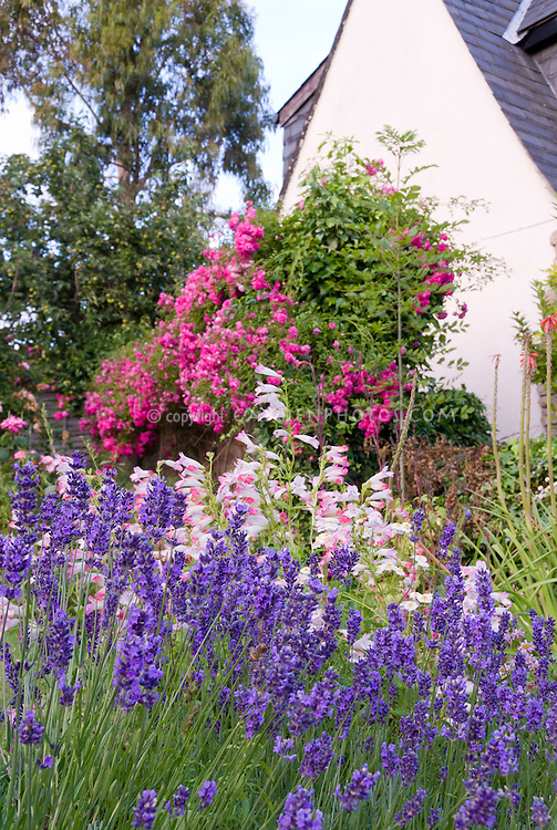 Penstemon Hidcote Pink and English lavender Lavandula angustifolia 'Hidcote' with pink roses Rosa bloom next to house
