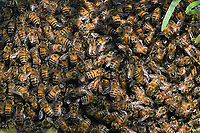 Swarm of Bees, San Angelo